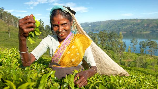 斯里兰卡盛产茶叶