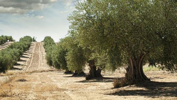 格鲁吉亚橄榄树