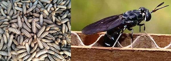 黑水虻虫蛹与成虫