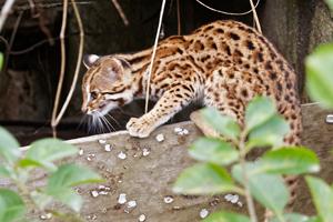 A leopard cat