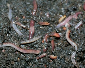 Earthworms droppings are fertiliser for the orange trees